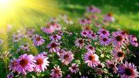 Campo de margaritas lilas